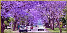 Jacaranda Mimosifolia Trees