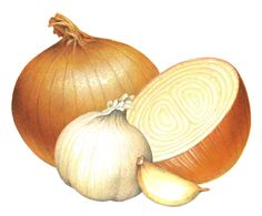 Onion & garlic stock art illustrations including cocktail onions, chives and illustrations with onion or garlic in them. Vegetable Illustration, Botanical Illustration, Illustration Art, Onion Pictures, Onion Drawing, Pumpkin Risotto, Garlic Chives, Stock Art, Schneider