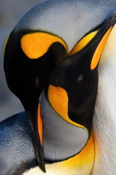 King Penguin Pictures And Information Meowlogy - King Penguin Pictures And Information Rebbeca Steward No Comment Posted On Apr Pm King Penguin There Are A Great Deal Of Unique Kinds Of Penguins About Found All Around The King Penguin, Penguin Love, Cute Penguins, Penguin Craft, Nature Animals, Animals And Pets, Baby Animals, Cute Animals, Penguin Pictures