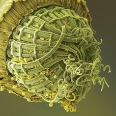 Coloured scanning electron micrograph (SEM) of part of the opening mouth of a capsule (spore case) of moss. Mosses reproduce by means of spores at certain times during their life cycle. The spores are dis