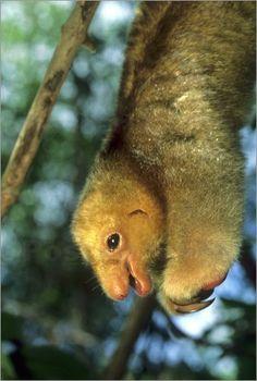 Close up of Silky Pygmy Anteater wildlife Mangrove Trinidad Canvas Art - Kevin Schafer DanitaDelimont x Weird Mammals, Pygmy Hedgehog, African Wild Dog, Exotic Pets, Exotic Animals, Strange Animals, Tree Artwork, Wild Dogs, Mundo Animal