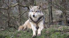 UK Wolf Conservation Trust, Berkshire