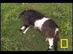 Fainting Goats - they don't lose consciousness, but because of genetic condition their muscles become stiff for a couple of moments. Poor animals, but damn, it looks so cute and funny :) Farm Animals, Cute Animals, Fainting Goat, Raising Goats, Goat Farming, Baby Goats, Hobby Farms, The Ranch, My Animal