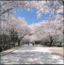 Kagamino Park Kochi Shikoku Japan    Cherry Blossom season in Japan is truly a highlight and something everyone should do once in their lives.    Picnics with sushi, ramen and sake under the sakura (cherry blossoms).  So many good times with my crew Naochan, Mayupyon, Mayurin and Michiesan.