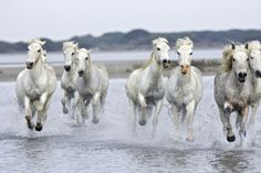 Camargue Horses Running Through Water Photographic Print at AllPosters.com