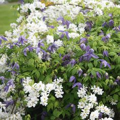 Buy pearl bush Exochorda × macrantha 'The Bride': Delivery by Waitrose Garden in association with Crocus