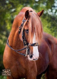 Photo by ©StunningSteeds Beautiful Horse Pictures, Most Beautiful Horses, All The Pretty Horses, Animals Beautiful, Horses And Dogs, Cute Horses, Horse Love, Wild Horses, Chestnut Horse