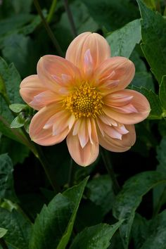 ~~Dahlia 'Carreg Cyril's Girl' |  beautiful soft apricot Colarette, low growing and demure, mid August blooming | by Alan Buckingham~~