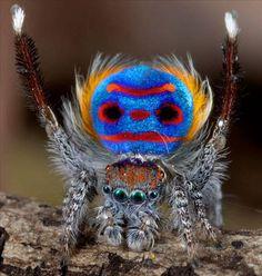 Tavus Kuşu Örümceği