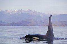 Orcas de Noruega