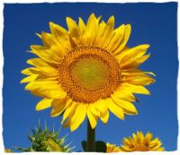 how to grow sunflowers and harvest seeds