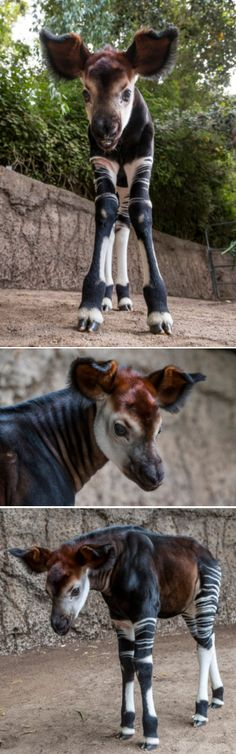 Meet Mosi, a floppy-eared, 3-week-old okapi.