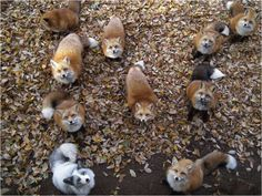 The Fellowship of Foxes