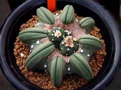 Astrophytum asterias nudum