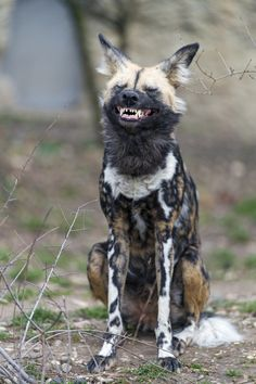 African Wild Dog Yawning by Tambako The Jaguar Safari Animals, Nature Animals, Animals And Pets, Funny Animals, Cute Animals, Animals Crossing, Dog Yawning, Dog Jokes, Photo Animaliere