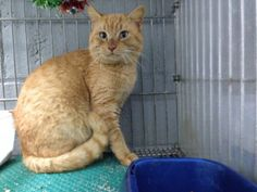 URGENT!!~~~~Meet a14-178 a Petfinder adoptable Tabby - buff Cat | Griffin, GA | Spalding County Animal Shelter, 208 Justice Boulevard, Griffin, GA 30224 (770) 467-4772 FAX: (770)...