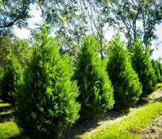 Evergreen fast growing privacy tree - Leyland Cypress Trees For Sale Green Giant Arborvitae, Arborvitae Tree, Emerald Green Arborvitae, Privacy Trees, Privacy Plants, Privacy Landscaping, Evergreen Trees For Privacy, Outdoor Privacy, Landscaping Ideas