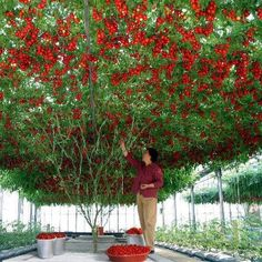 Tomato Tree:  I saw one of these at Disneyworld and always wondered how to grow…