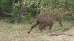 Very Pregnant Spotted Hyena sighting by Africa- Live App User 16.05.13 in Kruger