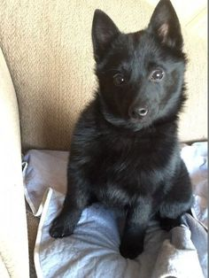Pictures of Schipperke Dog Breed