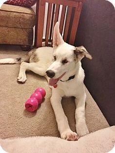 Westminster, CO - Australian Shepherd Mix. Meet Jordy, a puppy for adoption. http://www.adoptapet.com/pet/15928071-westminster-colorado-australian-shepherd-mix
