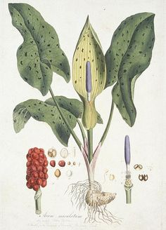 Arum maculatum (Lords and Ladies) from Flora Londinensis (1777-1787) published by William Curtis.