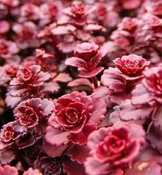 Sedum spurium 'Dragon's Blood' has striking foliage and vibrant flowers. Wonderful as ground cover, in the rock garden, along walkways or ca...