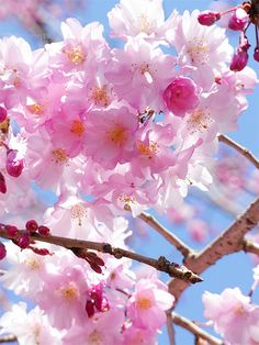 神代植物公園の桜「八重紅枝垂」 / Weeping cherry tree. Cherry Blooms, Cherry Tree, Beautiful Gardens, Beautiful Flowers, Cherry Blossom Japan, Garden Of Earthly Delights, Blossom Trees, Four Seasons, Flower Power