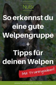 Hundetraining mit einem Welpen? In diesem Artikel erfahrt ihr, was ihr trotz des geringen Alters in kleinen Einheiten tun könnt, um euren Welpen zu fördern und wie ihr eine gute Welpengruppe erkennt. | Welpe, Gesundheit, Tipps und Tricks, Hundewelpe, Hundeschule, Welpengruppe, Sozialisierung | Hundesport Nubi | www.hundesport-nubi.de