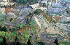 Terraced paddy fields are very common in rice farming where the land is hilly or mountainous. Terraced rice fields helps to decrease erosion...