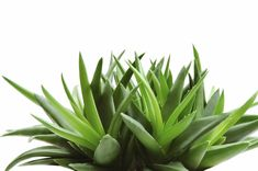 The Benefits of Aloe Vera Juice for Natural Hair Growth