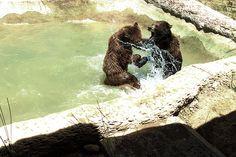 Pelea de osos.