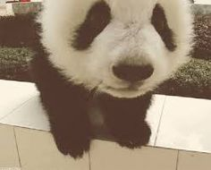 Znalezione obrazy dla zapytania słodkie pandy