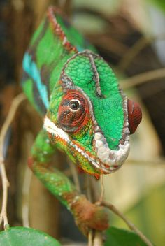 Panther Chameleon | by writhedhornbill