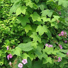image de Rubus odoratus