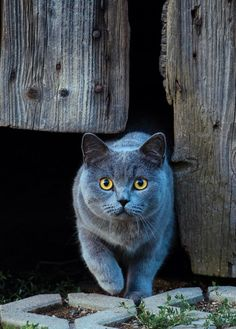 Chartreux Cat. Notice the copper/gold eyes. Sure trademark  Originally raised by Monks.
