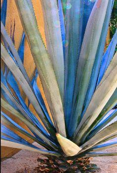Blue Agave, D. Bryant Succulent Terrarium, Cacti And Succulents, Succulents Painting, Agaves, Nature Plants, Air Plants, Cactus, Agave Plant, Plant Painting