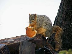 obese squirrel with a pancake