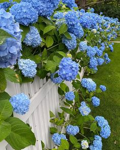 "Barbara Sallick on Instagram: ""#bluehydrandeas #summer"""