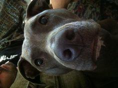 my beautiful pitbull, Shelby.