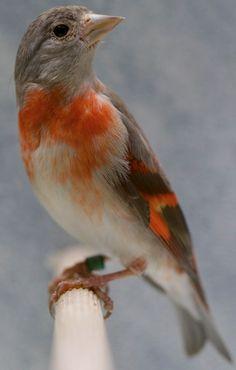 Tarin rouge femelle en mutation brune