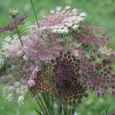 Excited to share the latest addition to my shop: Chocolate Queen Anne's Lace - Wild Carrot - Dara Ammi Seed Beautiful Gardens, Beautiful Flowers, Unusual Flowers, Cut Flower Garden, Flower Gardening, Container Gardening, Small Flower Gardens, Gardening Apron, Gardening Books