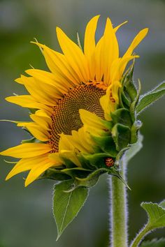 Sunflower   -  Colors:   Yellow, Orange, Green, on Gray
