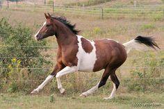 Paint Arab horse