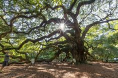 Nestled in Johns Island is the most spectacular tree this side of the Mississippi! The famous Angel Oak is a sight you will never forget.