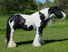 Gypsy Horse / Tinker - stallion Rock Ranch Nelson