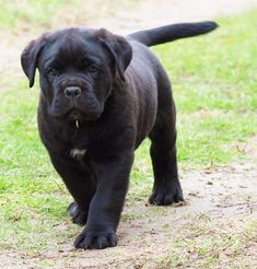 What a beautiful Cane Corso Pup!