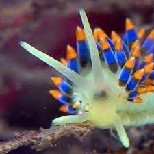 Image result for blue nudibranch