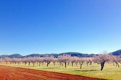 Almond Blossom Ibiza