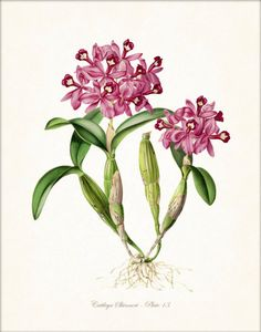 Orchid botanical print - Belle Mer Graphics on Etsy
